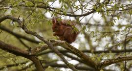 Białostockie wiewiórki będą miały gdzie mieszkać