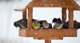 Jeśli chcecie pomóc zimą ptakom, musicie to wiedzieć