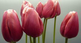 Tulipan z imieniem polskiego generała