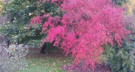 Niektóre drzewa są już typowo jesienne