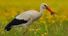Bocian - ptak narodowy