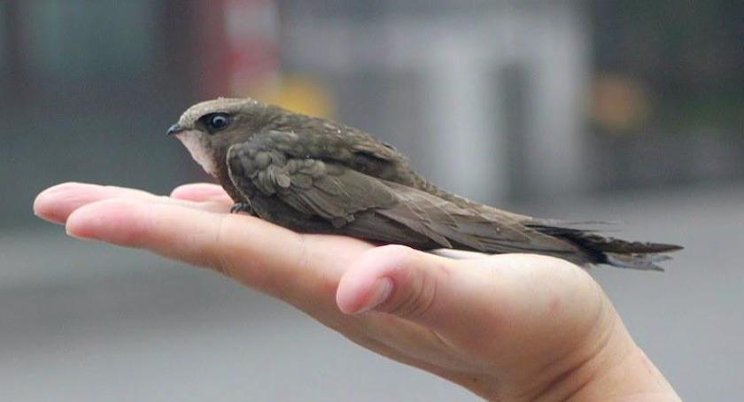 Zwierzęta, Młode jerzyki opuszczają gniazda - zdjęcie, fotografia