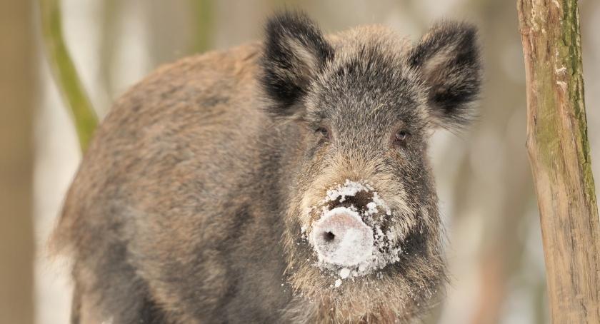 Zwierzęta, Kilkadziesiąt przypadków wirusa Warszawie Dotarł Saską Kępę! - zdjęcie, fotografia