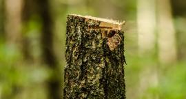 24 drzewa wycięte bez zezwolenia?