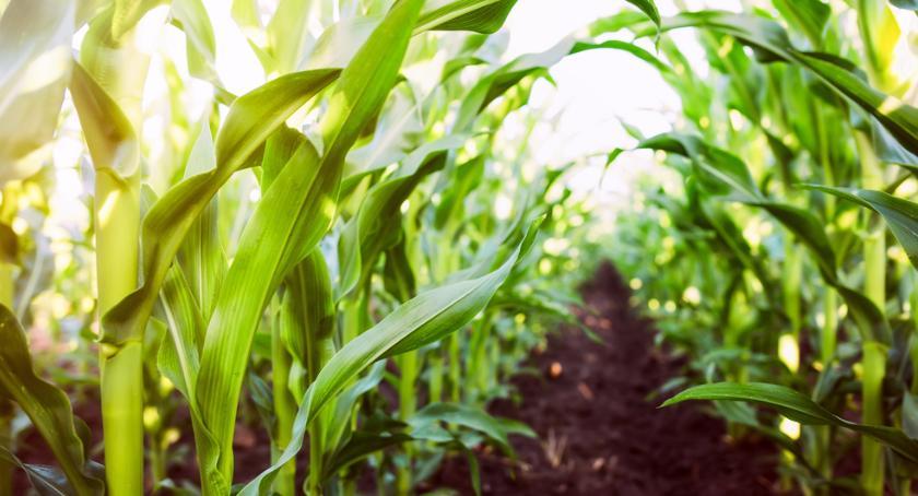 Porady, radzić sobie chorobami grzybowymi kukurydzy - zdjęcie, fotografia