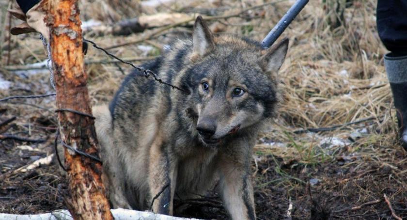 W maju rusza monitoring wilków