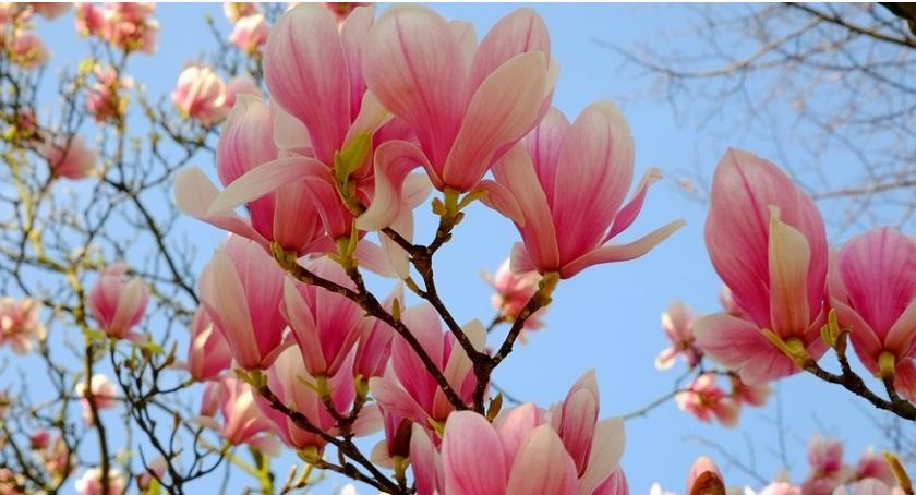 Porady, Największa kolekcja magnolii Europie uprawie Polaka! - zdjęcie, fotografia