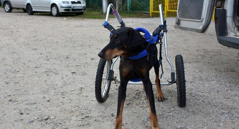 Wózek inwalidzki służy także psom. Nowy nabytek schroniska w Szczecinku