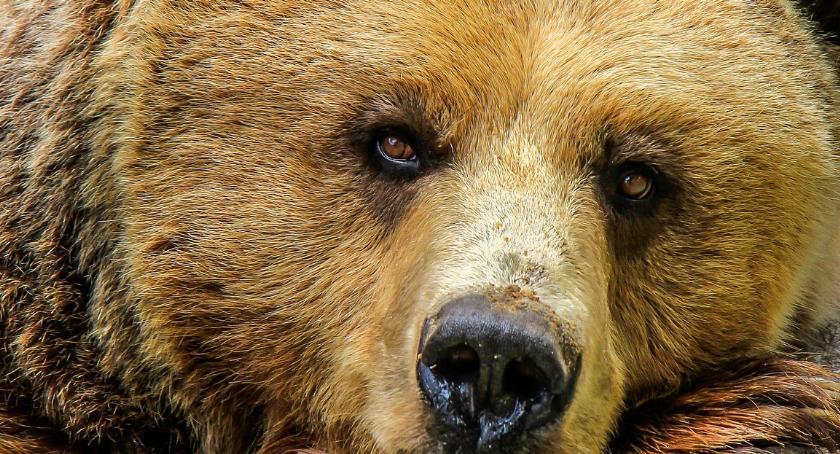 Niedźwiedziu, sam tego chciałeś