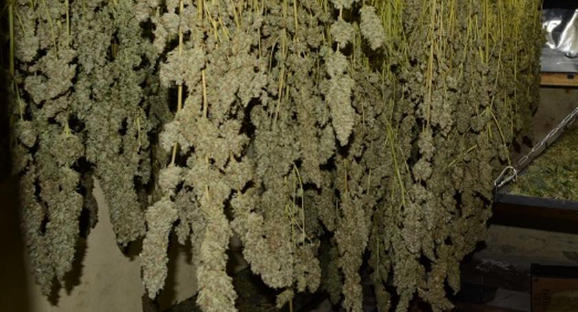 Pod Szczecinkiem zlikwidowano jedną z największych plantacji marihuany w Polsce