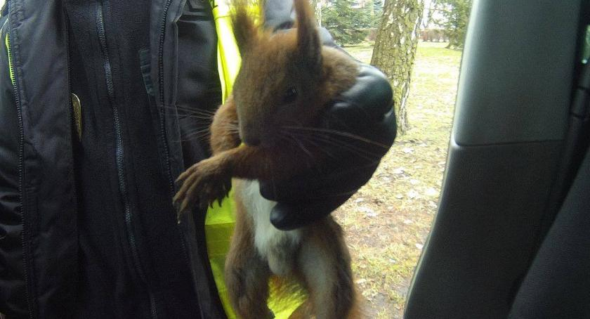 Wiewiórka z łapką w gipsie. Uratowali ją miejscy strażnicy