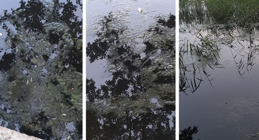Czy jezioro Trzesiecko znów zaczęło kwitnąć?