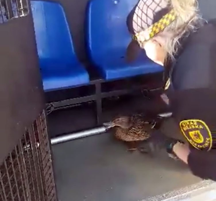 Straż Miejska, Szczecineccy strażnicy ratują małe kaczuszki - zdjęcie, fotografia