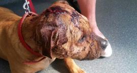 Wstrząsające pobicie psa w Szczecinku. Co można powiedzieć o człowieku, który to zrobił?