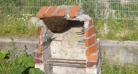 Pszczoły w Szczecinku lubią grilla. Nietypowa interwencja Straży Miejskiej