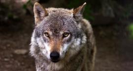 Pod Szczecinkiem grasują wilki. Kto i dlaczego chce do nich strzelać?