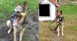Adoptowany ze schroniska pies trafił na łańcuch. W misce miał spleśniałe jedzenie