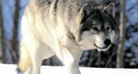 Wilki pod Szczecinkiem. Ilość tropów potwierdza, że populacja zwierząt się rozrasta