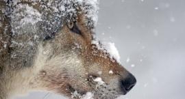 RDLP Szczecinek czeka dokładne liczenie wilków. Będzie strzelane?