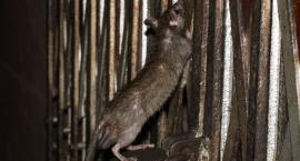 Szczury wchodzą do łóżka. Tak się mieszka przy ul. Szkolnej