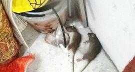 Szczury w Szczecinku. Czy to już plaga?