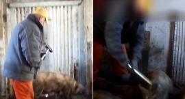 Długotrwałe zabijanie świń młotkiem. Wstrząsające nagranie spod Barwic (akt.)