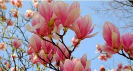 Największa kolekcja magnolii w Europie – w uprawie Polaka!