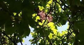 Rój pszczół na Głowackiego [Wrzuć Temat]