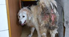 Szok! Kolejny zjadany przez robaki pies trafił z domu do schroniska w Szczecinku. Wył z bólu