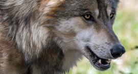 Wilki są już nie tylko w bajkach. Przystąpienie do odstrzału jest kwestią czasu?