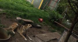 Pies na łańcuchu, bez budy i jedzenia pilnuje... warzyw. Interweniowali miejscy strażnicy