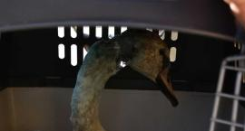 Łabędź z rozszarpaną szyją jest uratowany. Teraz trzeba mu pomóc wrócić do zdrowia