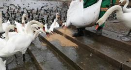 Łabędzie i kaczki na Trzesiecku nie głodują