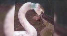 Łabędź, który miał rozszarpaną szyję, nadal przebywa w Kobylnicy. Pomóc może każdy