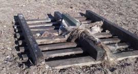 Szczątki upolowanego dzika służą za przynętę. A zagrożenie ASF?