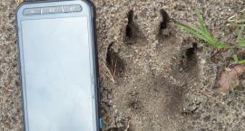 Wilki pod Szczecinkiem. Świeże wilcze tropy znalezione w Nadleśnictwie Czarnobór