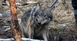 Na wilki polują także w okolicach Szczecinka! Strzelają kłusownicy, czy myśliwi?