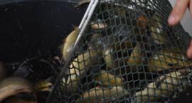 Ponad 1,5 tony małych ryb trafiło właśnie do jezior
