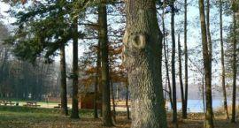 """Pomnik przyrody, czy drzewo """"Warcisław""""? Kwestia nazwy pomnika jest... wciąż otwarta"""