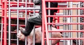 Zwierzęta idą na rzeź. Nagrano niesłychane okrucieństwo i przemoc