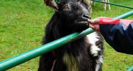 Koza, owce, podnośnik strażacki i pieczenie kiełbasek