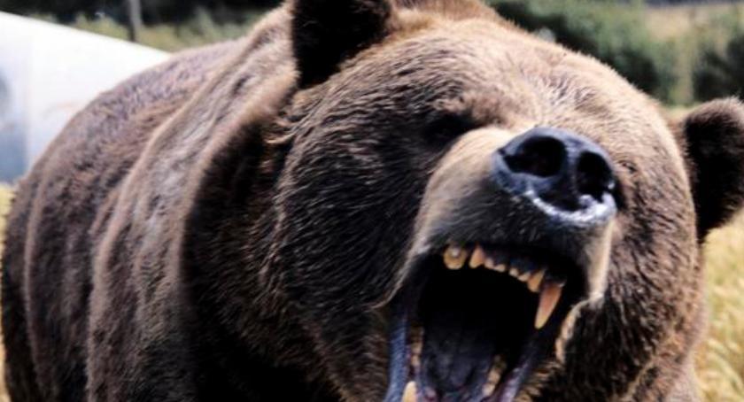 Niedźwiedź w gminie Roźwienica