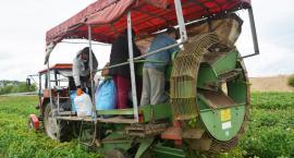 Rolnicy apelują: nie sprowadzajcie młodych ziemniaków z Rumunii