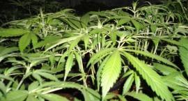 SG znalazła plantację marihuany w środku lasu