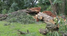 Robinia z Cygańskiej Góry przegrała z deszczem i wiatrem