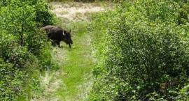 Czy dziki z zagrody edukacyjnej w Woli Mołodyckiej zostaną otrute?