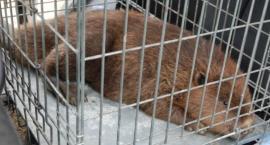 Uratowali dwa bobry zaplątane w kłusownicze wnyki