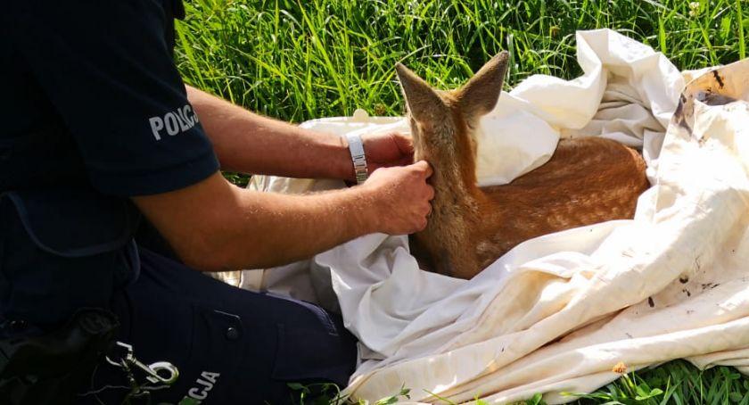 Komunikaty policji , Policjanci ratowali małą sarnę [FOTO] - zdjęcie, fotografia