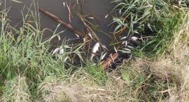 Tysiące śniętych ryb w zambrowskim zalewie