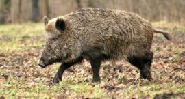 Padłe dziki w gminie Jedwabne. Jakie są objawy ASF?